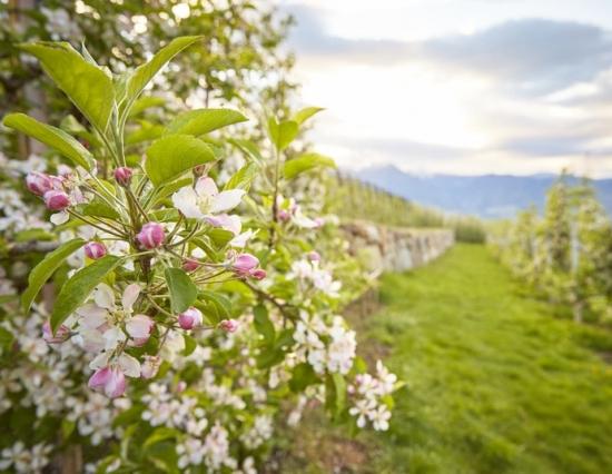 Apfelblütentage 4=3